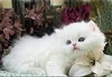 تجميع صورة القطة البيضاء